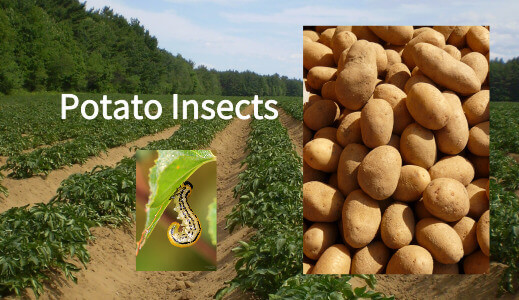potato insects